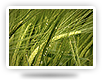varieties of spring barley