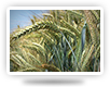 varieties of winter triticale